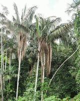 Пальма унгарагуа
