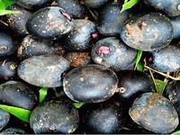 Плоды пальмы унгарагуа