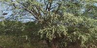 Дерево Пало Санто
